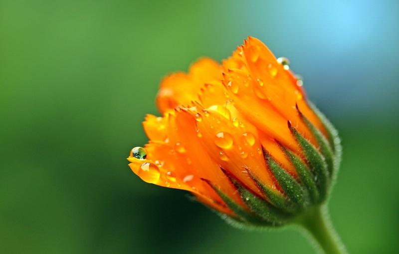 marigold-1568639